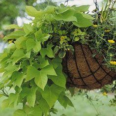 2016 boîtes à fleurs balcon arrière; L'ipomée est une espèce ornementale de la…