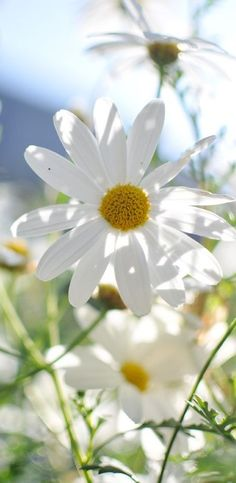 daisies in the meadows. Happy Flowers, White Flowers, Beautiful Flowers, Flowers Nature, Summer Flowers, Sunflowers And Daisies, Wildflowers, Daisy Love, Little Flowers