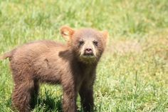 CUTENESS ALERT!!! This little bear cub is so adorable!!!