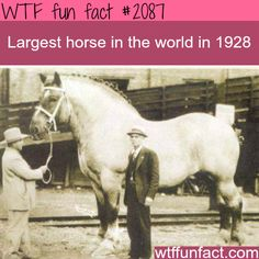 Largest horse in the world - WTF fun facts