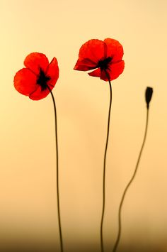 I have such a thing for poppies. They are just beautiful.