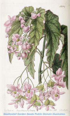 Veracruz Begonia - Begonia incarnata - (1837) - by Sarah Ann Drake