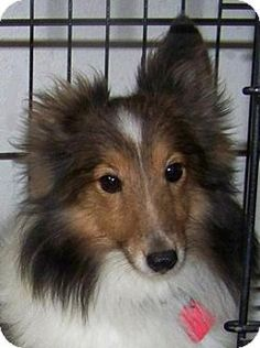 8/13/15 Union Grove, WI - Sheltie, Shetland Sheepdog. Meet Lil Princess, a dog for adoption. http://www.adoptapet.com/pet/13605736-union-grove-wisconsin-sheltie-shetland-sheepdog
