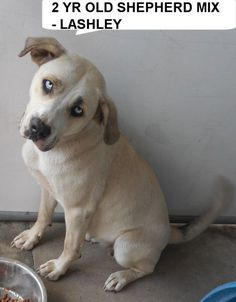 Lashley is a 2 yr old mix breed boy  who would love to take walks with you.  He needs to get out of the shelter and be someones special dog. Please don't leave him here.      Please help us SAVE him...