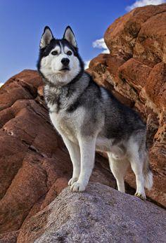 Siberian Huskies.