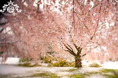Cherry blossoms - looks like pink snow!