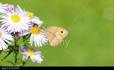 #Dusky #Meadow #Brown #Butterfly On #Wild #Chrysanthemum @Alamy #Alamy @AlamyContent #macro #nature #flowers #insects #closeup #details #season #summer #fall #autumn #stock #photo #download #portfolio #hires