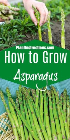 Asparagus is a hardy immortal vegetable that can tolerate a variety of land conditions. The exclusion being very soggy soil. It tolerates drought once established, and you can count on it to produce every year Growing Veggies, Planting Vegetables, Growing Plants, Growing Carrots, Asparagus Garden, Grow Asparagus, How To Plant Asparagus, Asparagus Spears, Gardening For Beginners