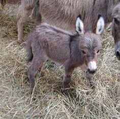 Baby Donkey Foal with Mother. Tappan's Burro by Zane Grey. Baby Donkey, Mini Donkey, Baby Cows, Baby Elephants, Cute Baby Animals, Farm Animals, Funny Animals, Wild Animals, Mundo Animal