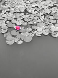 산책 나오던 길,  연못에 핀 연꽃.   진짜인 듯 하다,  렌즈에 찰 카악.    너 혼자 피었다!