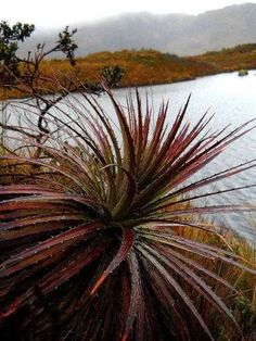 El Cajas National Park Tours: Spiky leaved bromelia