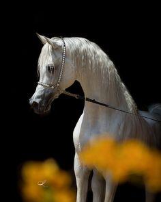 Straight Egyptian Arabian Stallion, via Flickr.