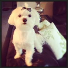 Maltese Bichons, Malteser, Pet Stuff, Doggies, Fur Babies, Madness, Cute Animals, Puppies, Poses