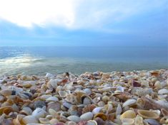 sea shell beach captiva island :-) Happy hunting. Altho I certainly tried, I did miss out on the elusive junonia and tun shell gosh darnit! Grrr! Beautiful day regardless.