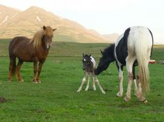 Polar Hestar: Riding Tours in Iceland - Reiten und Reittouren in . Horse Ears, Pony Horse, Tours In Iceland, Native Country, Icelandic Horse, Majestic Horse, Equine Photography, Palomino, Ponies