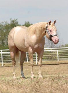Cremello Quarter Horse Stud