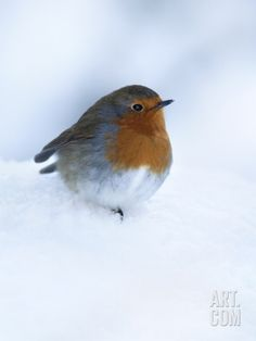 Robin (Erithacus Rubecula), in Snow, United Kingdom, Europe Photographic Print by Ann & Steve Toon at Art.co.uk