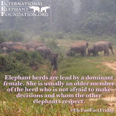 """""""Happy herds are lead by a dominant female. She is usually an older member who is not afraid to make decisions"""" All About Elephants, Elephants Never Forget, Baby Elephants, Asian Elephant, Elephant Love, Elephant Spirit Animal, Elephant Facts, Animal Facts, Wtf Fun Facts"""