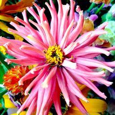 July 10: Flower - Photo by Erika Lowe @ErikaBTV on Twitter: Bloom from #btv Farmer's Market #VPTJulyPix #July