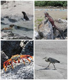 The wildlife here is so amazing. The animals live free and are not afraid of humans. Obviously it is not allowed to approach them. . . #Ecuador #Galapagos #galapagosislands #galapagoswildlife #galapagosanimals #crab #sealion #iguana #bird
