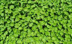 Hydrocotyle asiatica či také gotukola, je tropickou vytrvalou rostlinou.S jejími účinky se postupně seznamují lidé po celém světě. A jsou ohromeni. Gotukola posiluje tělesné, ale i duševní zdraví. V dnešním světě neomezených možností ji můžete konzumovat i vy a dopřát si tak její nevídané účinky. Silné zdraví a dobrá nálada Pupečník asijský má svůj význam …