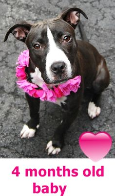 RETURN 07/27/16 NO TIME --- SAFE 7/25/16 --- Manhattan Center LOLA – A1081120 FEMALE, BLACK / WHITE, AM PIT BULL TER MIX, 4 mos STRAY – STRAY WAIT, NO HOLD Reason STRAY Intake condition UNSPECIFIE Intake Date 07/13/2016 http://nycdogs.urgentpodr.org/lola-a1081120/