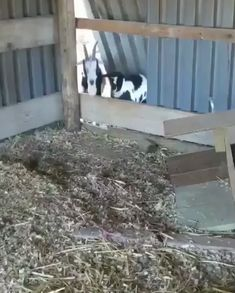 Goats trying to climb over a wooden board - Funny GIFs Funny Animal Memes, Funny Animal Videos, Cute Funny Animals, Funny Animal Pictures, Cute Baby Animals, Funny Cute, Funny Dogs, Cute Dogs, Hilarious