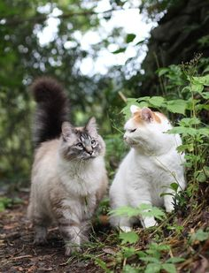 "* * CAT ON RIGHT: "" Me be nevers listenin' to yoo agains! Nows we be lost!""  [OTHER CAT: ""Keeps yer fur on. St. Francis wills guide de ways back."""