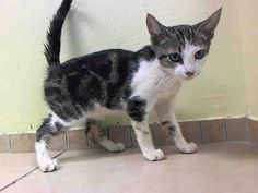 THE NYCACC WILL EUTHANIZE THIS KITTEN, AND OTHERS, UNLESS A HOLD IS PLACED ON HER BY NOON TOMORROW, 7/18/14.  LOG IN HERE TO SAVE HER LIFE....  http://www.nycacc.org/PublicAtRisk.htm  ........Brooklyn Center  My name is BELLE. My Animal ID # is A1006522. I am a female brn tabby and white domestic sh. The shelter thinks I am about 12 weeks old.
