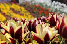 'A colourful display ' by Donna Keevers Driver Tulip Festival, Rebel, Canon, Display, Flowers, Roses, Floor Space, Cannon, Billboard