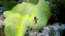 Anemonefish are sequential hermaphrodites.