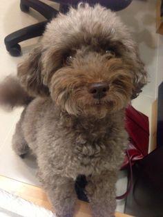 Toy Poodle Yoko, Dog of pet parent Cindy | Pawshake