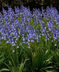Hyacinthoides hispanica Excelsior - Hyacinthoides & Scilla - Flower Bulb Index