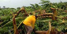 Los huracanes ponen a los países en situación de emergencia alimentaria, porque dañan los cultivos.