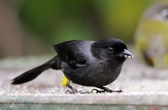 The yellow-thighed finch (Pselliophorus tibialis) is a passerine bird which is endemic to the highlands of Costa Rica & western Panama. Despite its name, it is not a true finch, but rather a member of the large Emberizidae family, which also includes buntings, American sparrows, juncos & towhees.