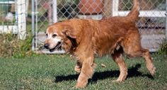 This is Louie - 10 yrs. He came from a shelter. He is neutered, current on vaccinations, potty trained, has excellent house manners, walks well on leash, knows some commands. Not dog, cat or kid tested. Louie has good energy & is at Homeward Bound, Ca. http://www.homewardboundgoldens.org/available-dogs/available-dogs/louie.html