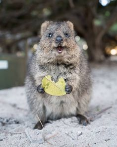 """2,081 Likes, 11 Comments - Adrian & Sabrina (@eatsnorexplore) on Instagram: """"Introducing the Quokka. Profile: small, fluffy, always curious and super cute! #rottnestisland…"""""""