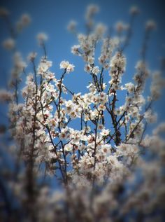 - Almond (Prunus amygdalus)  Joy of life, vitality. For those of who are afraid to grow old and accept the passing of time. It promotes acceptance and understanding beyond the simple beauty of the physical appearances of the aging body. It strengthens and rejuvenates the body.