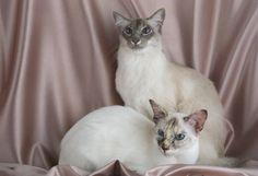 Gatos de Raza | Balinés