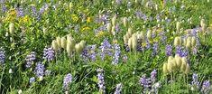 Plants - Mount Rainier National Park (U. Mount Rainier National Park, Native Plants, Perennials, Places To Travel, Wild Flowers, National Parks, Bloom, American, Planting