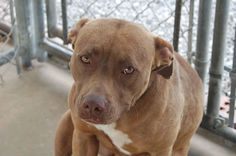 Cumberland County Animal Shelter - Crossville, TN Oh Miss Blaze....she was at our shelter for such a long time. She FINALLY got a home, only to be returned because she had too much energy. Her once bright excited face is now sad because she is once again behind bars...Seeking a home with training experience or the ability to enroll in a proper training program to curb her energy. Great with other dogs. RESCUE FRIENDLY SHELTER - distance is no problem! ALREADY SPAYED!
