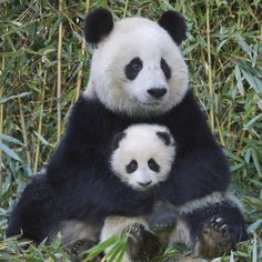 EuroGraphics Panda and Baby Puzzle. Pandas, with their distinctive black patches are among the most endearing animals. Although this endangered species belongs in the bear family, their diet consists of bamboo. Niedlicher Panda, Panda Bebe, Cute Panda, Cute Baby Animals, Animals And Pets, Baby Pandas, Giant Pandas, Baby Bears, Red Pandas