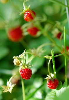 Wild strawberries growing in the hedgerows