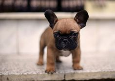 French Bulldog puppy socialization http://www.frenchbulldogbreed.net/french-bulldog/french-bulldog-puppy-socialization.html