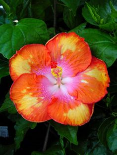 Hibiscus All Aglow