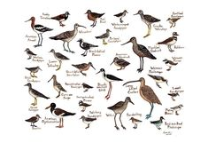 Shorebirds Bird Field Guide Style Watercolor Painting Print Sandpipers Plovers. $30.00, via Etsy.
