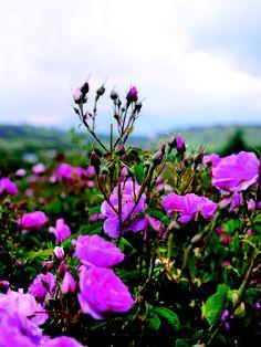 ısparta rose gardens
