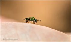 It may look as if this little metallic green bee had come to rest on the crest… Dune, Rest, Metallic