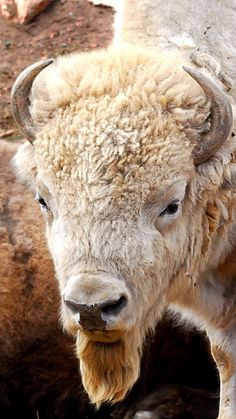 White, Wild Animals and Why Difference Shouldn't Be Wrong Wild animals that are white and unlike the others of their species—such as white bison or white deer—often hold special meaning for us. The Animals, Farm Animals, Cute Wild Animals, Amazing Animals, Animals Beautiful, Beautiful Beautiful, Zebras, Buffalo Pictures, Tier Zoo