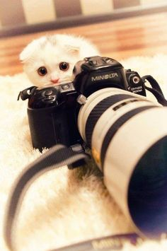Tiny cute white Scottish Fold cat behind a camera I Love Cats, Cute Cats, Funny Cats, Funny Animals, Cute Animals, Baby Animals, Wild Animals, Crazy Cat Lady, Crazy Cats
